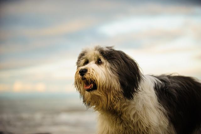 Polish Lowland Sheepdog against ocean waves and sky with clouds