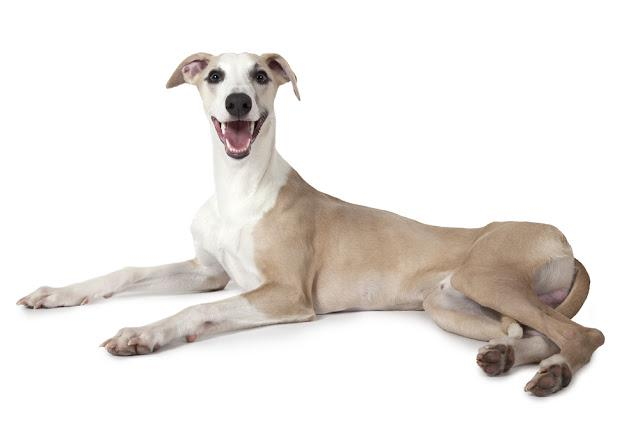 Whippet dog lying on white background and looking at the camera