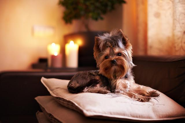 Dog lying on a pillow. On a background candles are burning.