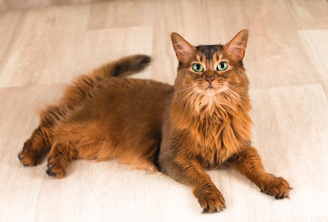 Somali cat portrait lying at studio on light wooden parquet