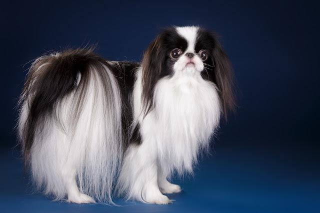 Beautiful small toy dog black and white Japanese Chin Spaniel on dark blue royal background in studio