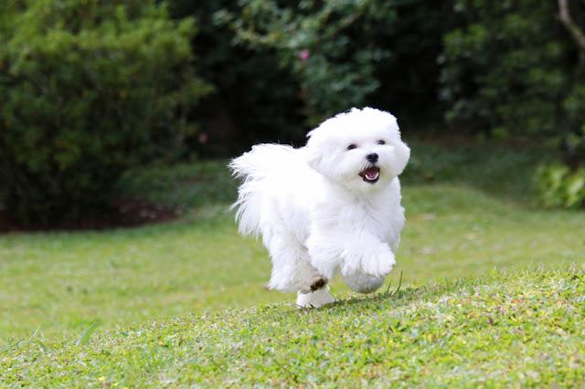 Maltese Dog Running / A white maltese dog running on green grass and plants background