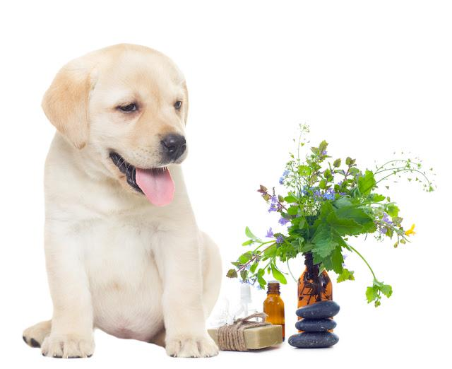 spa objects and labrador puppy