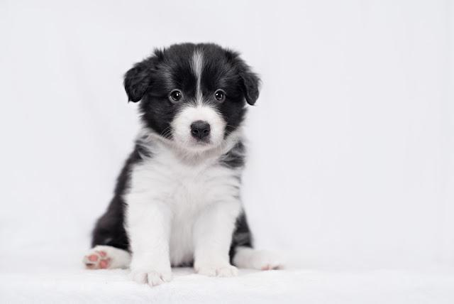 cute Border collie puppy, on a white background