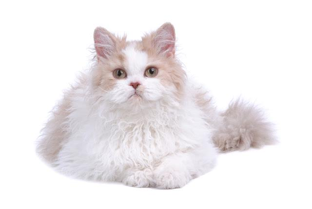 Selkirk Rex, highly curled hair isolated on white