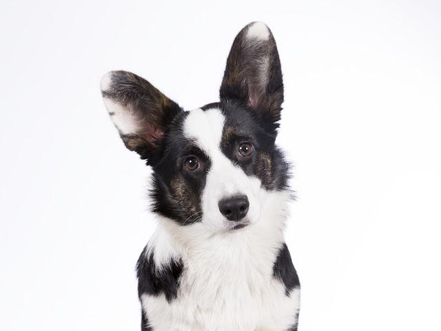 Cardigan Welsh Corgi puppy portrait. The dog breed is a bit rare. Image is taken in a studio.