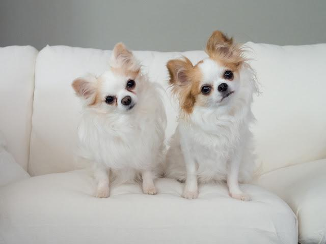 Curious puppies tilting their heads sitting on white sofa