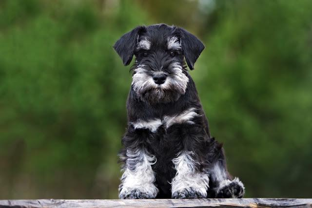 black miniature schnauzer puppy sitting outdoors
