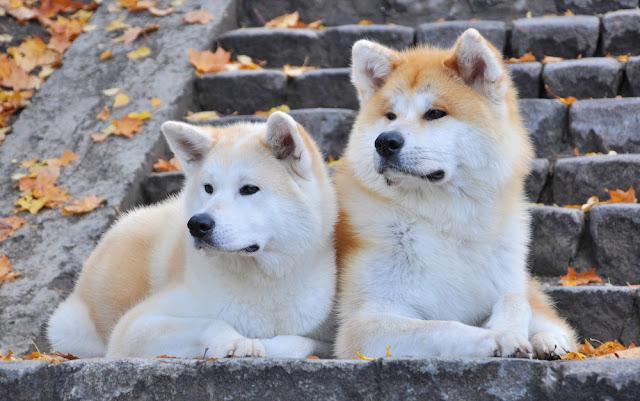 Japanese Akita dogs in beautiful Autumn lying down on stairs