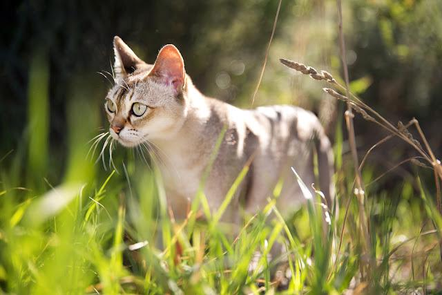 Singapura cat in the grass
