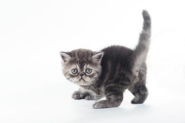 beautiful blue exotic kitten on white background