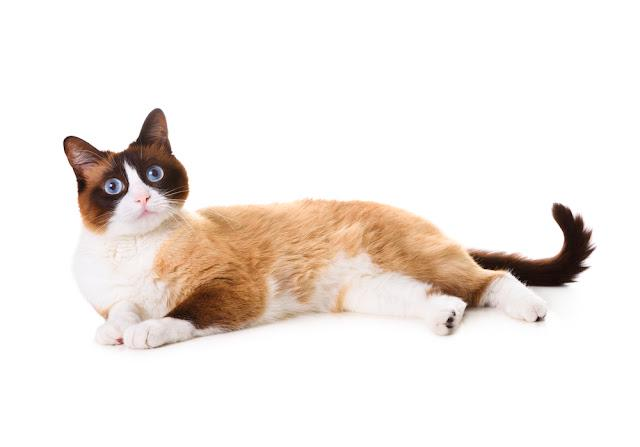 Snowshoe cat lying on white background and staring front, isolated