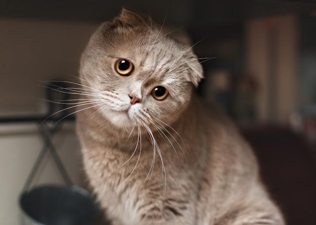 Funny cat in the kitchen. Scottish fold