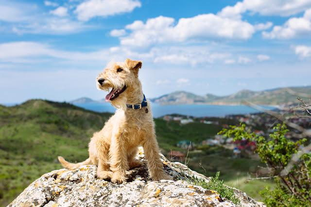 Happy lakeland terrier dog sitting on a large rock on a background of mountains, sea and blue sky