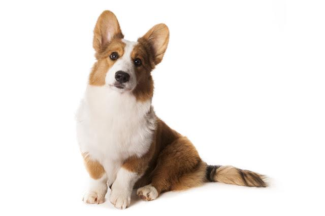Welsh Cardigan Corgi on White