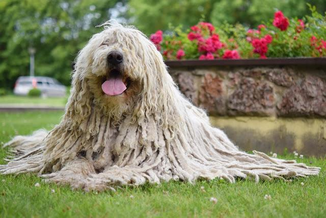 Komondor (Hungarian sheepdog) laying down in the park