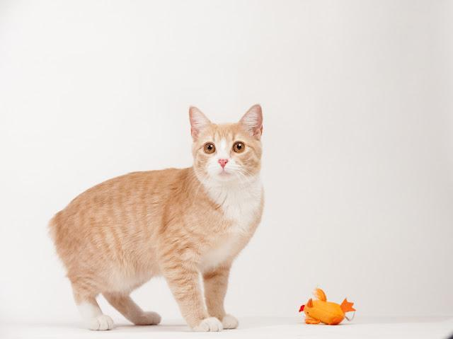 Manx cat standing with orange toy in studio with white background