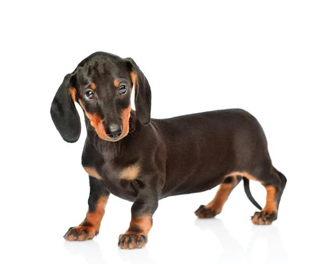 Black dachshund puppy standing in side view. isolated on white background
