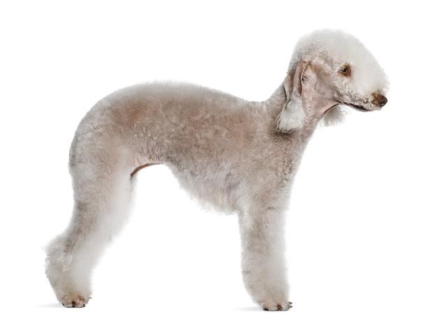 Bedlington terrier, 2 years old, standing in front of white background