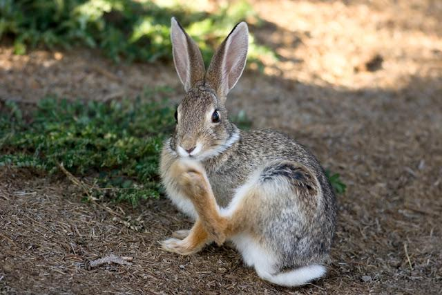 Cottontail rabbit scratching its nose