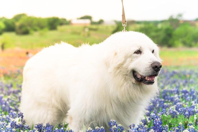 Close-up portrait of a big fluffy white Great Pyrenees dog on Bluebonnet and Indian paintbrush field outside of Dallas, Texas, USA at springtime. Large dog breed with blooming wildflower.