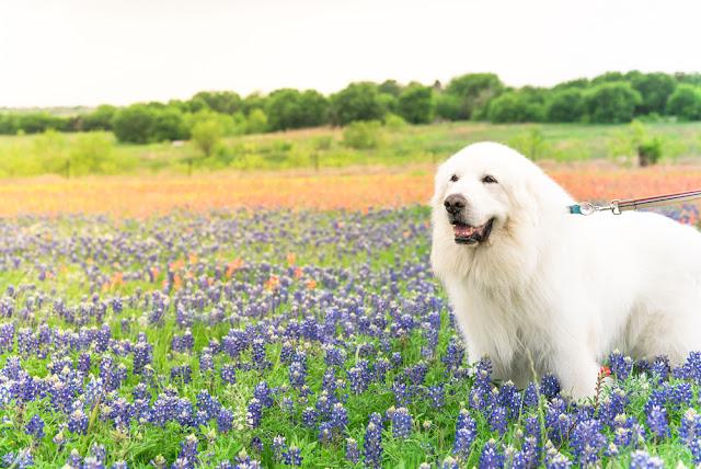 Portrait of a big fluffy white Great Pyrenees dog on Bluebonnet and Indian paintbrush field outside of Dallas, Texas, USA at springtime. Large dog breed with blooming wildflower.
