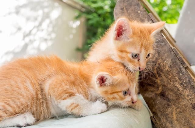Two little cute golden brown kittens play on outdoor backyard home garden, selective focus on ones eye