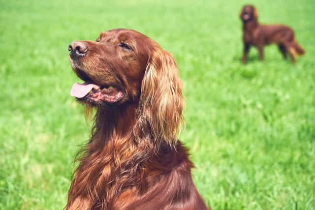 One Red irisch setter dog sitting on the meadow