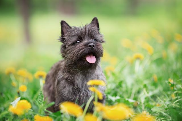 Cairn Terrier Sitting in Flowers