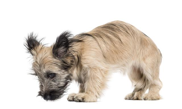 Skye Terrier dog looking down isolated on white