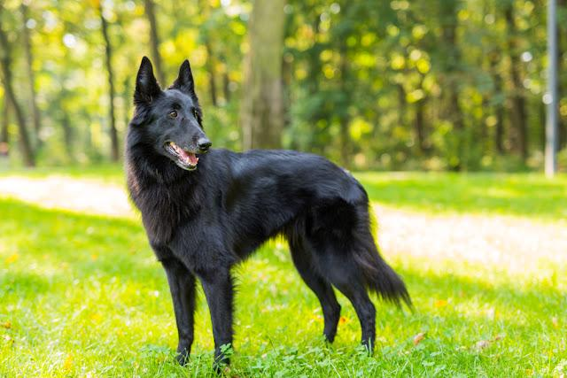 Beautiful fun Groenendael dog puppy waiting. Black Belgian Shepherd Groenendael Autumn Portrait