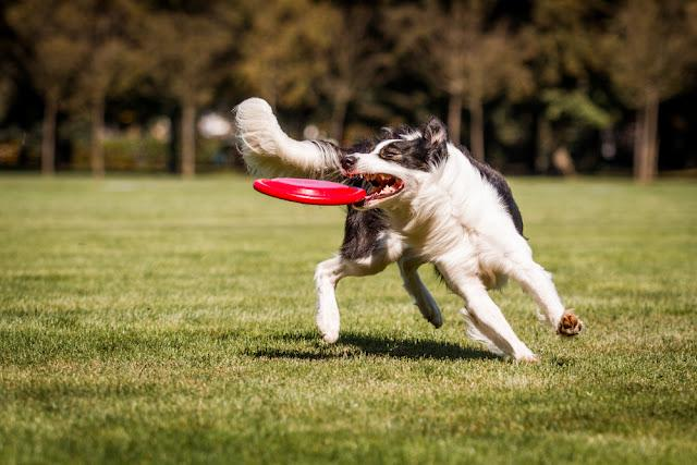 Border collie catch disk