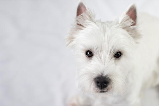 Cute West Highland White Terrier from above.