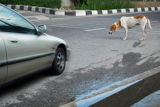 The dog on the road and the car.
