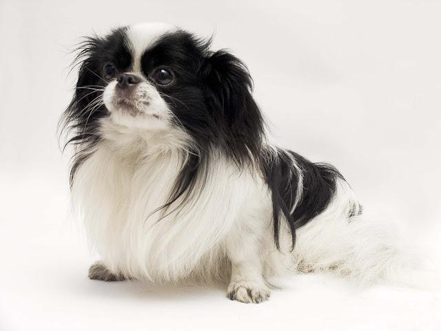 Studio shot of Japanese Chin against white background