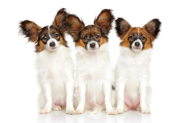 Papillon dog puppies in front of white background