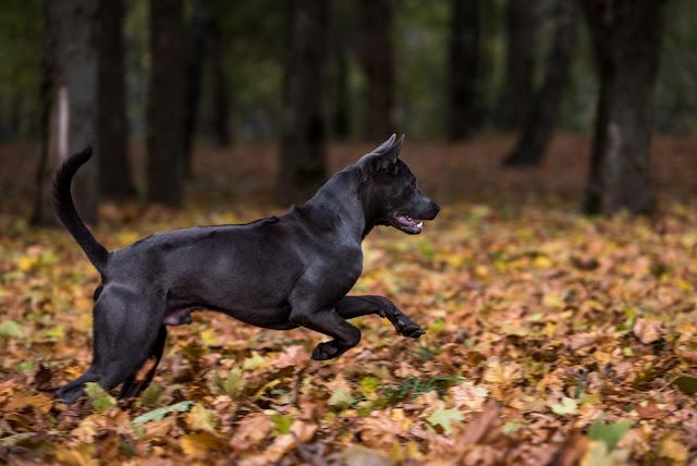Thai Ridgeback Dog is Running.