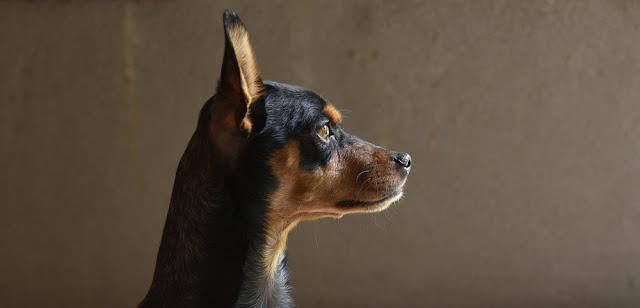 Proud dog portrait