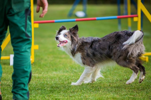 man with a Border Collie on an agility field