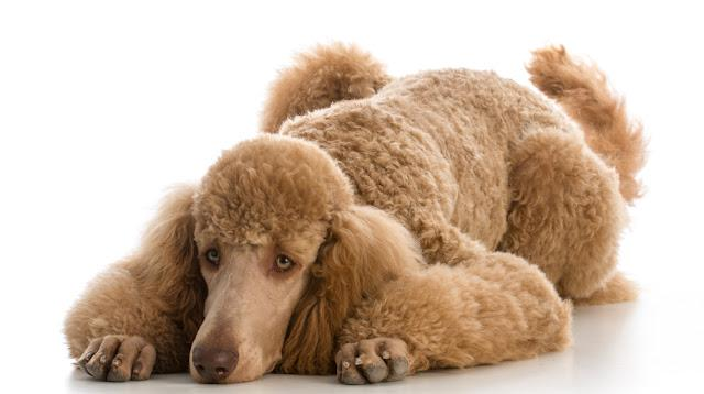 apricot standard poodle portrait on white background