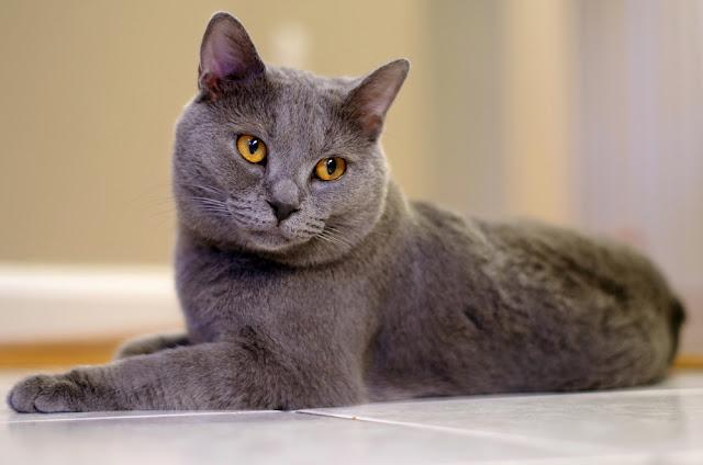 Grey Chartreux Cat Laying on Floor
