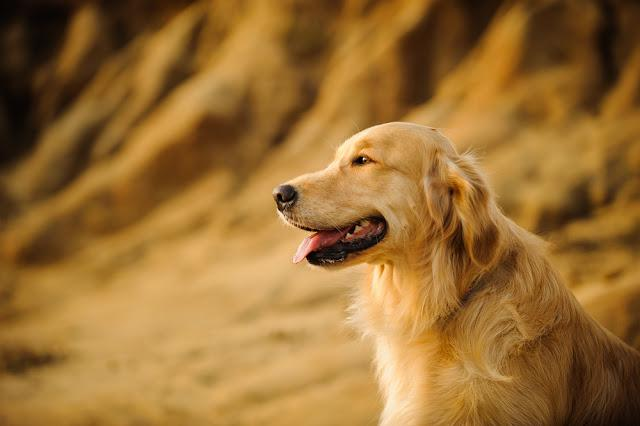 Golden Retriever dog against natural stone bluffs