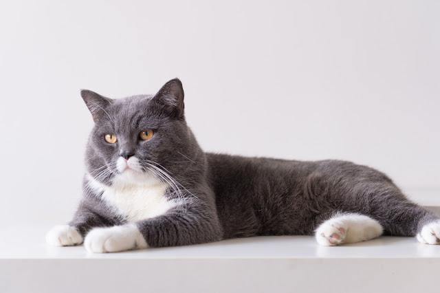The grey British shorthair