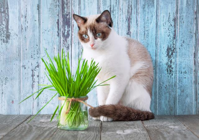 Beautiful cat with feline grass.  Cat Grass for cat health. Pet grass. Natural hairball treatment.