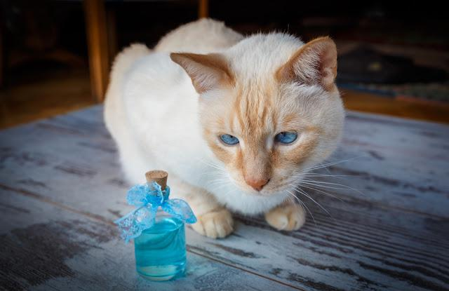 light red blue-eyed cat and blue cologne in bottles on old tree background. photo with vignette