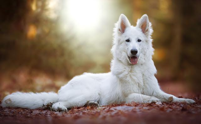 Cute White Swiss Shepherd Dog outdoor portrait