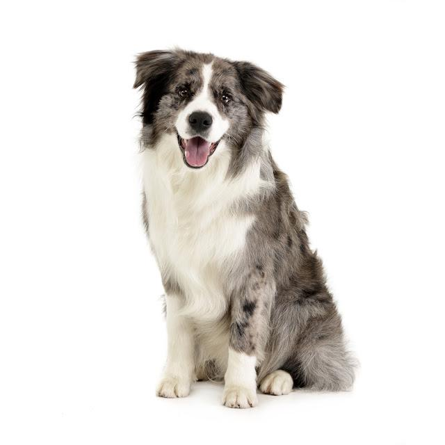Studio shot of a cute Border Collie puppy sitting on white background.