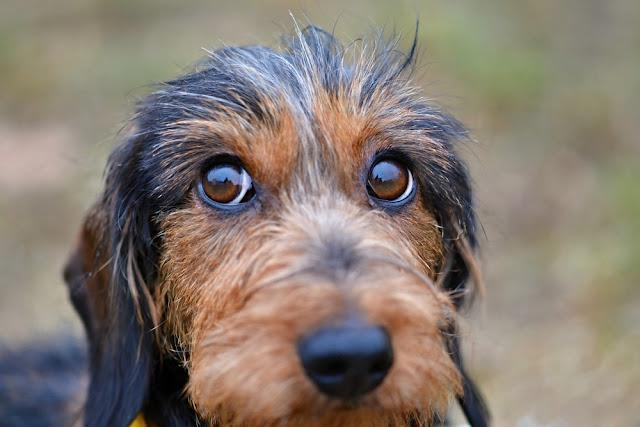 Dachshund dog eyes