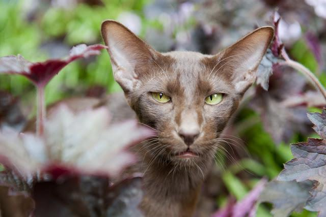 Brown Havana siamese cat in nature garden