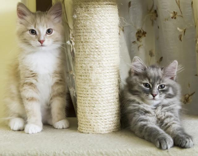 puppies of siberian cat on the scratching post
